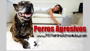 educacion de perros agresivos